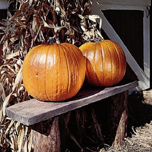 Pumpkin Connecticut Field - Heirloom variety - 10 seeds